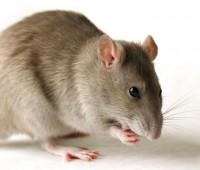 Que Significa Soñar con Ratas?