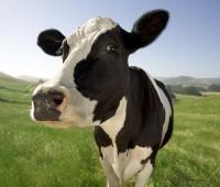 Que Significa Soñar con Vacas?
