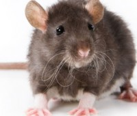Que Significa Soñar que te muerde una Rata?