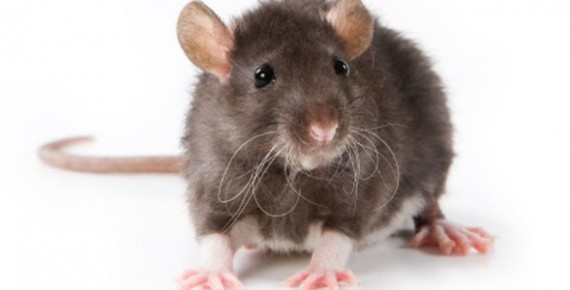 que significa soñar que te muerde una rata