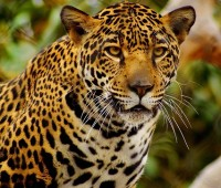 Que Significa Soñar con Jaguar?