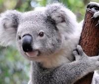Que Significa Soñar con Koala?